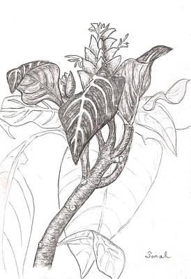 Zebra Plant Original