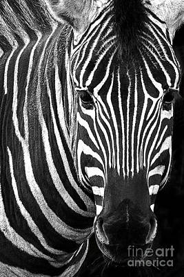 Photograph - Zebra Portrait by Sonya Lang