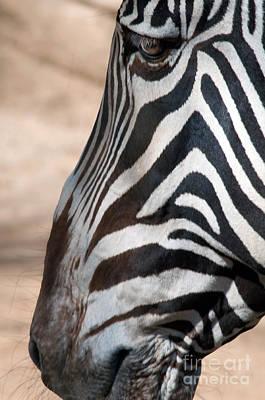 Zebra Profile Art Print by Dan Holm