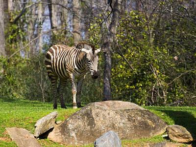 Zebra Rock Art Print