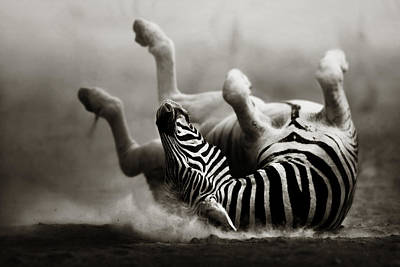 Action Photograph - Zebra Rolling by Johan Swanepoel