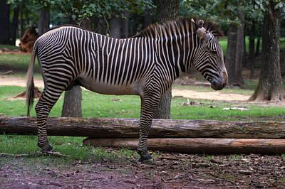 Zebra Side Profile Art Print