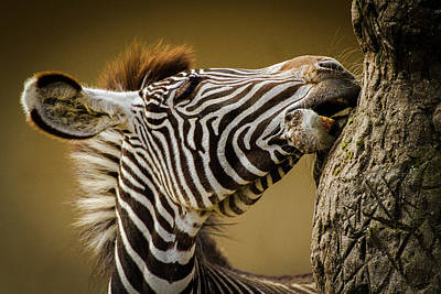 Foal Photograph - Zebra by Silvia Geiger