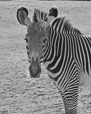 Photograph - Zebra Stare by Carol  Bradley