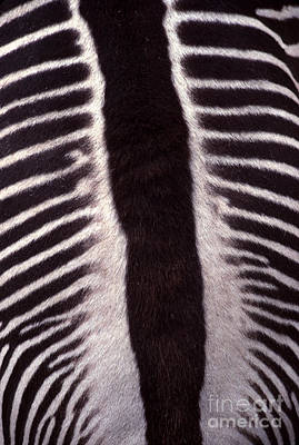 Zebra Stripes Closeup Art Print