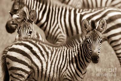 Photograph - Zebra Stripes Galore by Chris Scroggins