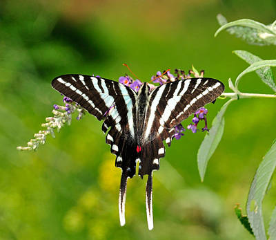 Fluttering Photograph - Zebra Swallowtail Butterfly by Lara Ellis
