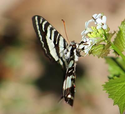 Zebra Swallowtail Art Print by Candice Trimble
