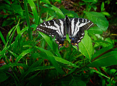 Photograph - Zebra Swallowtail by Mary Jo Allen
