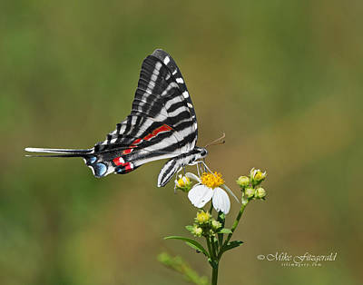 Photograph - Zebra Swallowtail by Mike Fitzgerald