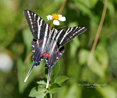 Photograph - Zebra Swallowtail Top View by Mike Fitzgerald