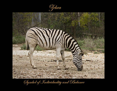 Photograph - Zebra Symbol Of by Marty Maynard