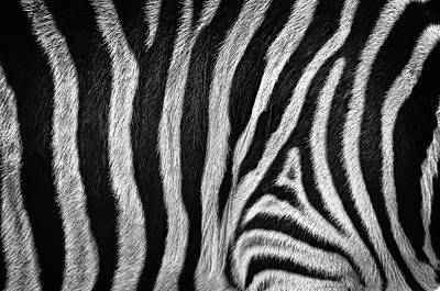 Photograph - Zebra by Tim Nichols