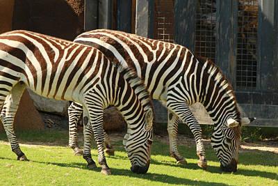 Zebra Art Print by Tinjoe Mbugus