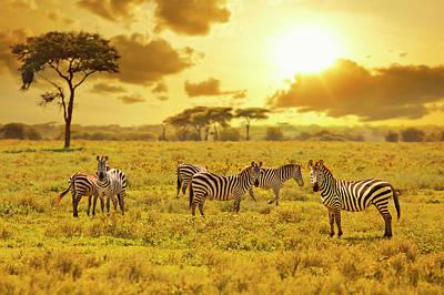 Photograph - Zebra by Ugurhan