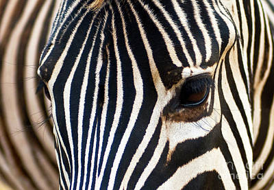 Print featuring the photograph Zebra Vibrations by Charles Lupica