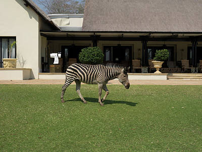 Zebra Walking Across Grass At Royal Art Print by Panoramic Images