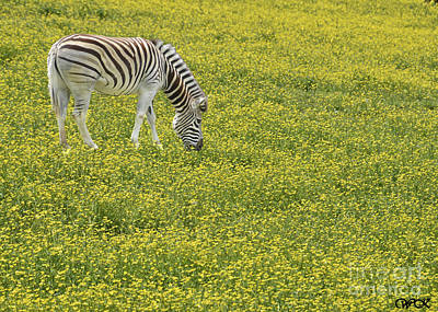 Photograph - Zebra by Wanda Krack