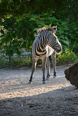 Photograph - Zebra by William Johnson