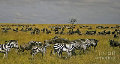 Zebras And Wildebeast   #0861 Art Print