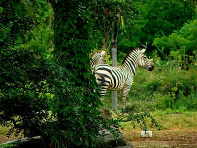Photograph - Zebras by Anthony Seeker