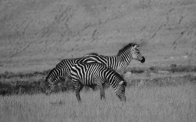 The White Stripes Photograph - Zebras Black And White by Dan Sproul