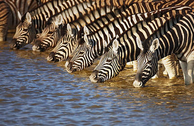 Group Photograph - Zebras Drinking by Johan Swanepoel