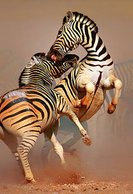 Two Photograph - Zebras Fighting by Johan Swanepoel