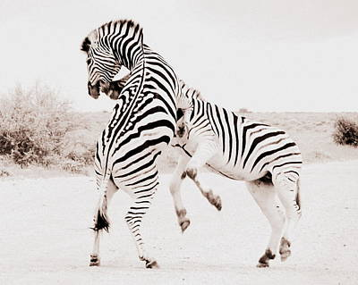 Photograph - Zebras Fighting by Ramona Johnston