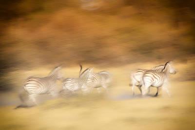 Photograph - Zebras by Gigi Ebert