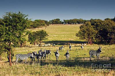 National Photograph - Zebras Herd On African Savanna. by Michal Bednarek