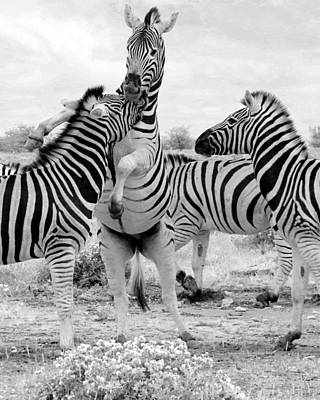Photograph - Zebras In Action by Ramona Johnston