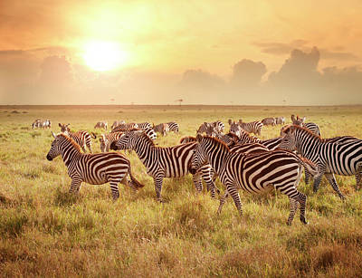 Photograph - Zebras In The Morning by Narvikk