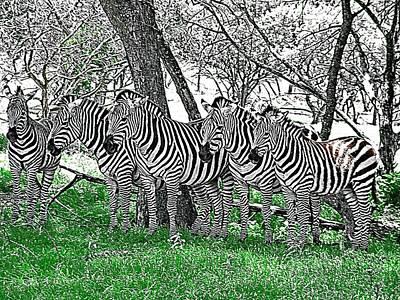 Photograph - Zebras by Kathy Churchman