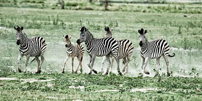 Loping Photograph - Zebras  by Nichon Thorstrom