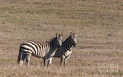 Photograph - Zebras by Terry Cotton