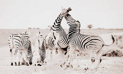 Photograph - Zebras Unleashed by Ramona Johnston