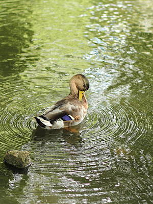 Photograph - Zen Duck by Theresa Selley