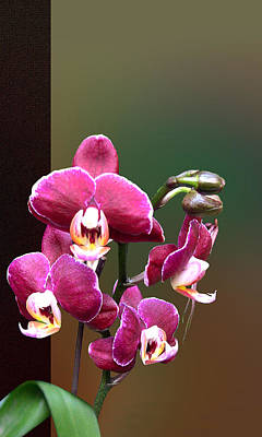 Photograph - Zen Orchid by Ginny Schmidt