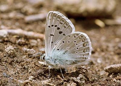 Wild Turkey Photograph - Zephyr Blue Butterfly Mud-puddling by Bob Gibbons