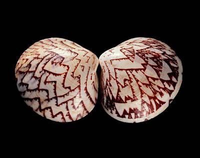 Zigzag Venus Clam Shell Art Print by Gilles Mermet