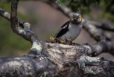 Hungry Chicks Photograph - Zimbabwe White Helmutshrike On Nest by Jaynes Gallery