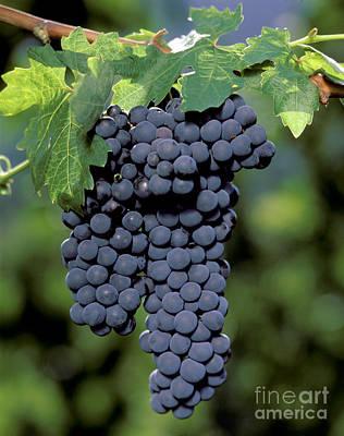 Zinfandel Wine Grapes Art Print by Craig Lovell