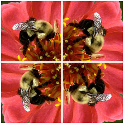 Photograph - Zinnia And Bee Collage by Jean Wright
