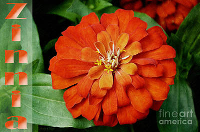 Photograph - Zinnia by Andee Design
