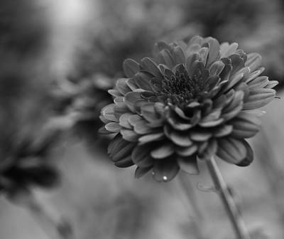 Photograph - Zinnia Black And White by Dan Sproul