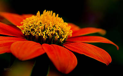 Photograph - Zinnia Bright Orange Macro by Julie Palencia