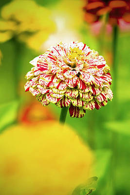 Photograph - Zinnia Candy Cane by Robert Clifford