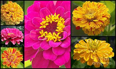 Photograph - Zinnia Collage by Eunice Miller
