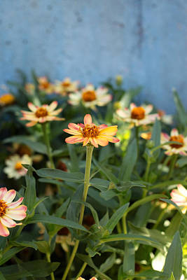 Photograph - Zinnia by Denice Breaux